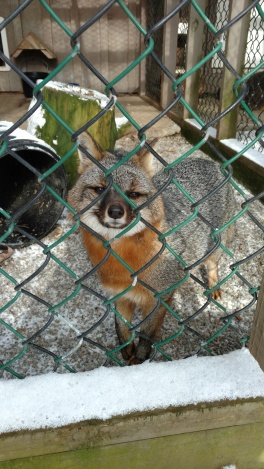 Grey fox friend while volunteering